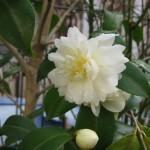 匂い椿 バターミント