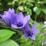 藤の花とバビアナ