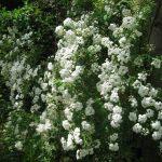 八重咲きコデマリが満開