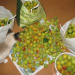 ウメ ビワ アンズの収穫