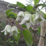 冬咲きクレマチス2020