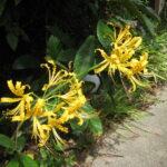 黄花のリコリス2輪