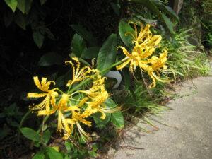 黄花のリコリ�輪