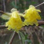2月2日節分の日の花